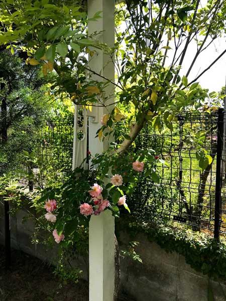 庭のバラ(富士が丘)